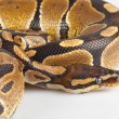 Beautiful strong python lying peacefully — Stock Photo