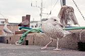 Seagull — Zdjęcie stockowe