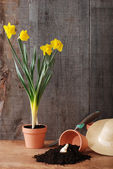 Spring daffodil gardening — Stock Photo