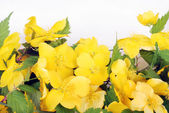 Closeup of forsythia flowers — Stock Photo