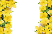 Forsythia flowers border — Stock Photo