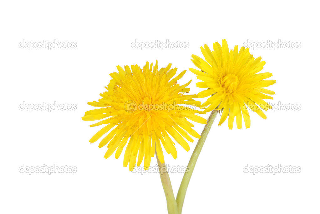 Isolated two dandelions on white background   Stock Photo #10258368