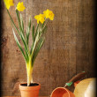 Stock Photo: Grunge Spring daffodil gardening still life with texture