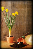 Grunge Spring daffodil gardening still life with texture — Stock Photo