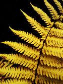Yellow fern — Stock Photo