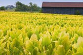 Tobacco farm — Stock Photo