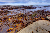 Kelp — Stock Photo