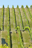 Babydoll sheep in a vineyard — Stock Photo