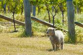 Babydoll owiec — Zdjęcie stockowe
