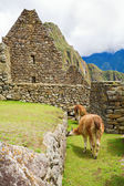 Llamas at Machu Picchu — Photo