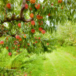 Peach orchard - Stock Photo