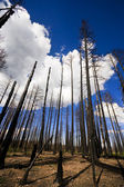 Burnt forest — Stockfoto
