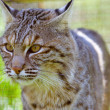 Bobcat - Stock Photo