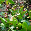 Coffee plant - 