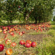 Apples on the ground - Foto de Stock