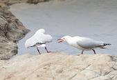 Red-Billed Gulls — Stock Photo