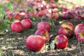 Apples on the ground — Stock Photo