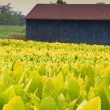 Tobacco farm - Stockfoto