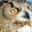 Owl — Stock Photo #9316895