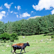 Brown cow — Stock Photo #9318804