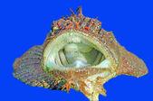 Gobius peixe — Fotografia Stock