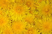 Dandelion flower background — Stock Photo