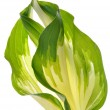 Hostas leaves decoration isolated — Stock Photo