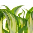 Stock Photo: Hostas leaves decoration