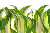 Hostas leaves decoration — Stock Photo