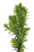 Juniper green branch — Stock Photo