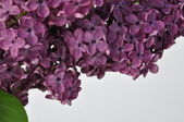 Purple spring — Stock Photo