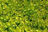 Yellow-green Hedge — Stock Photo