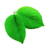 Leaf isolated on a white — Stock Photo
