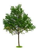 Baum auf weißem hintergrund — Stockfoto