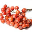 Rowanberry - Stock Photo
