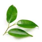Yaprak yeşil — Stok fotoğraf