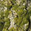 Moss on tree — Stock Photo #8137609