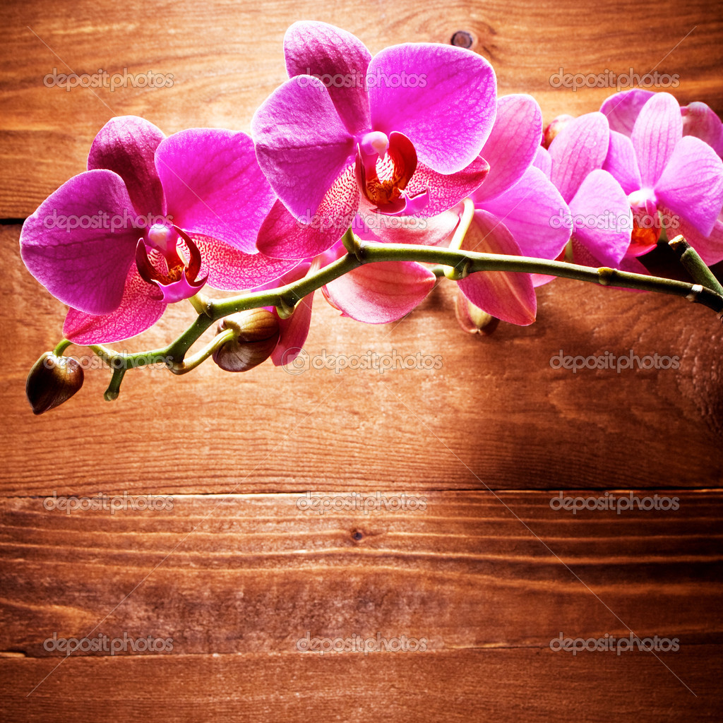 orchid e photographie korovin 8138487. Black Bedroom Furniture Sets. Home Design Ideas