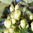 Plant hops - Stock Photo