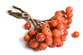 Rowan berry — Stock Photo