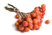 Rowan berry — Stock Photo