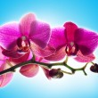Orchid — Stock Photo #9677884