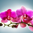 Orchid — Stock Photo #9677885