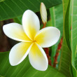 A frangipani flower — Stock Photo