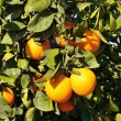 Branch of oranges — Stock Photo #8384109