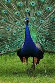 很漂亮的孔雀 — 图库照片