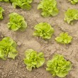 Green lettuce in a garden — Stock Photo