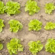 Stock Photo: Green lettuce in garden
