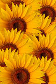 Sunflowers for background — Stock Photo