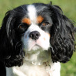 King Charles Spaniel dog - Stock Photo